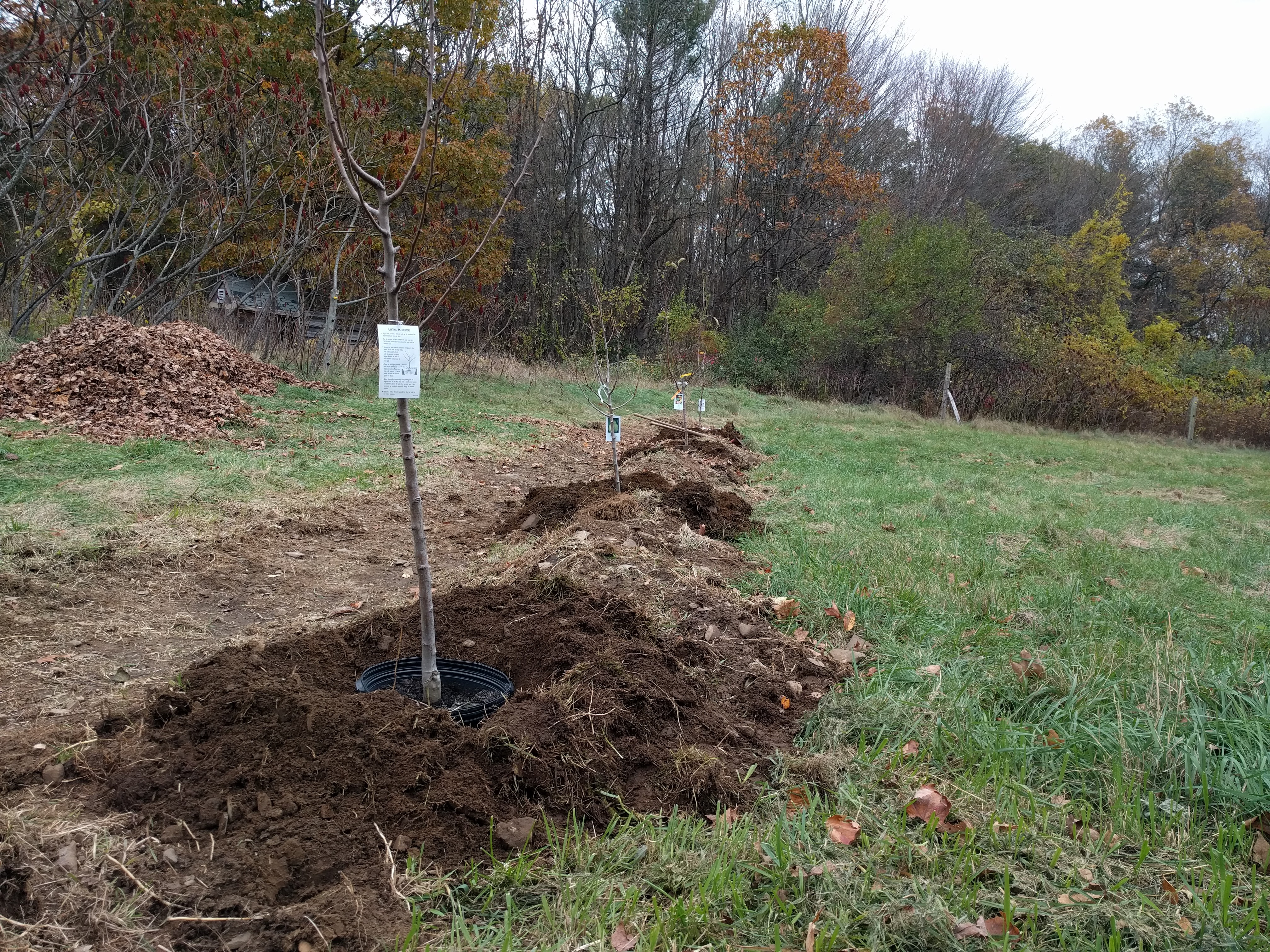 planting trees for a permaculture project